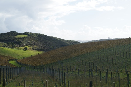 One of the many vineyards on Waiheke island